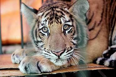 Tigre_pensierosa